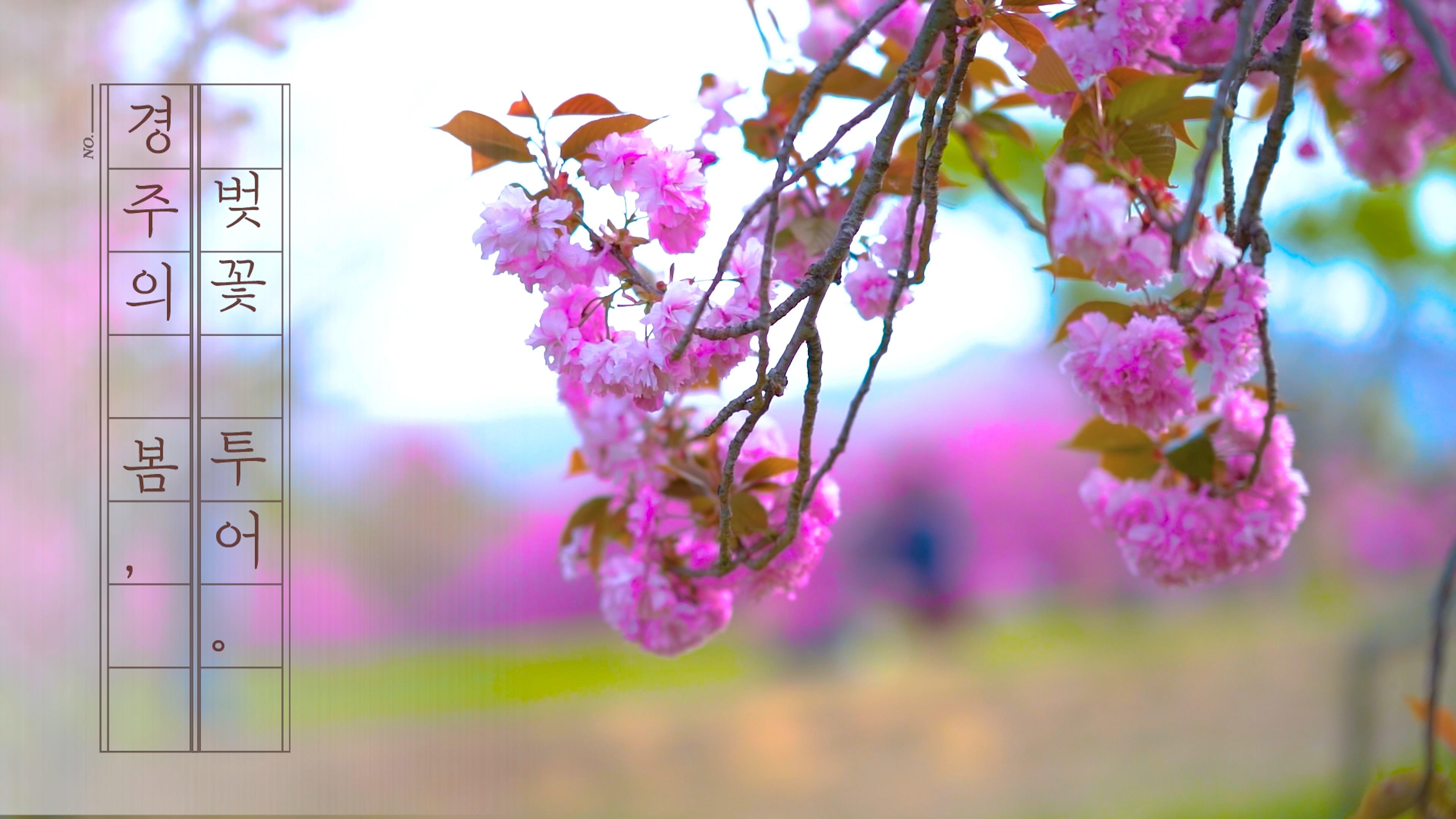 경주의 봄, 벚꽃투어
